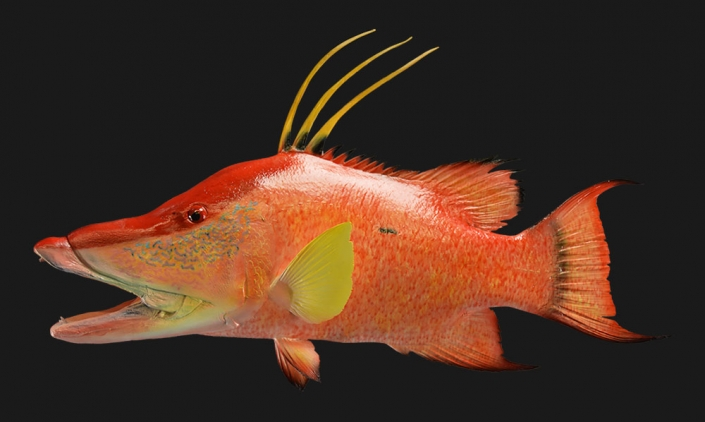 Hogfish Replica Mount