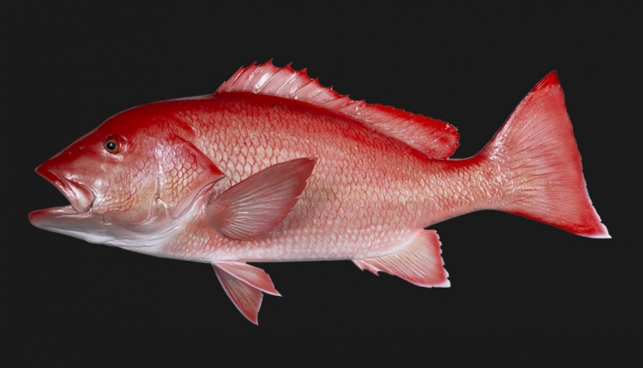 Red Snapper Replica Mount