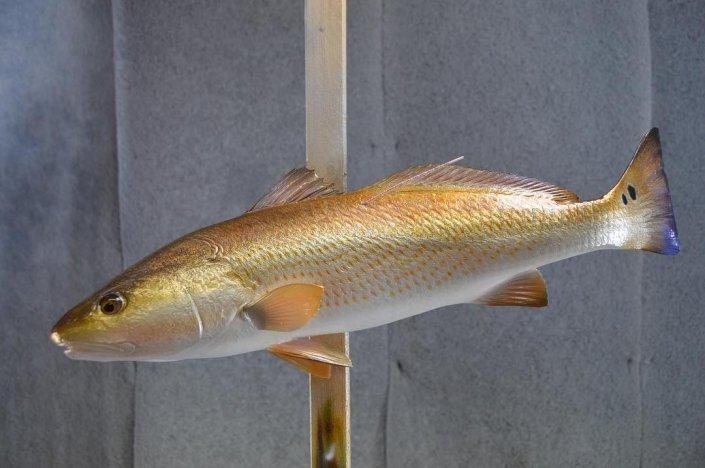 Tournament Winning Redfish Mount