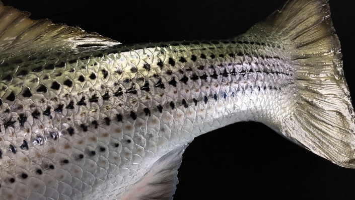 Striped Bass Detail