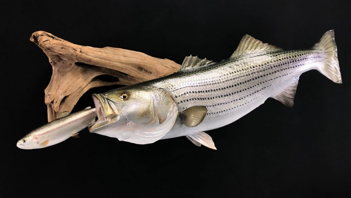 Striped Bass Replica Mount