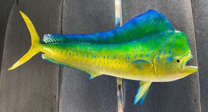 Dolphin Mahi Dorado Mount